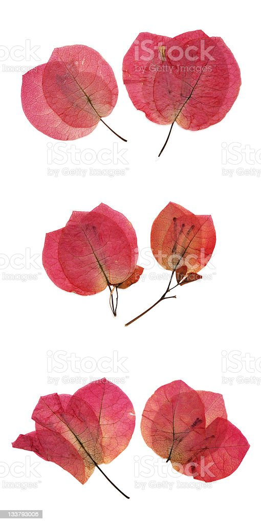 Dried red bougainvillea flower petals stock photo