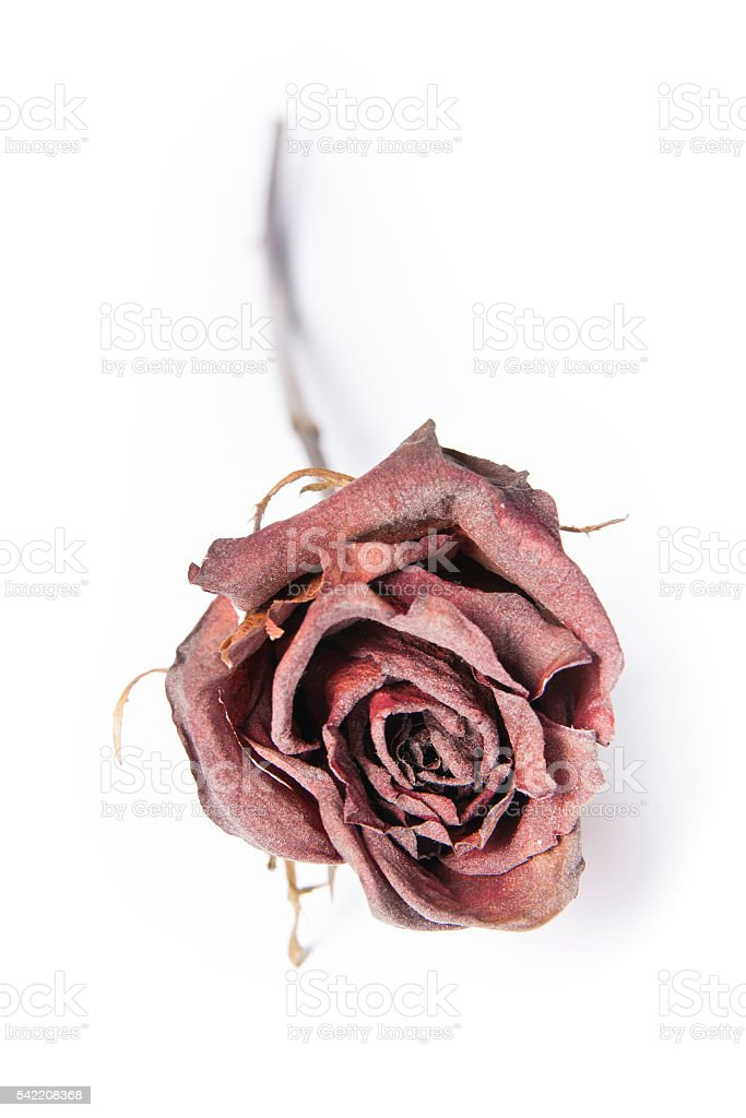 Dried Red Rose on White Background stock photo