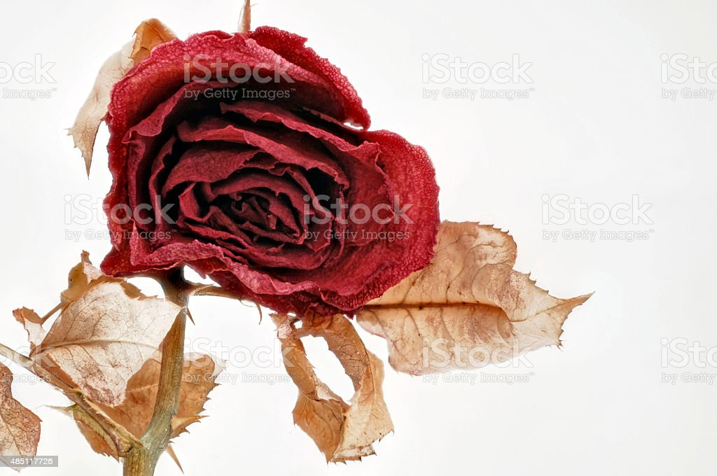dried red rose on white stock photo