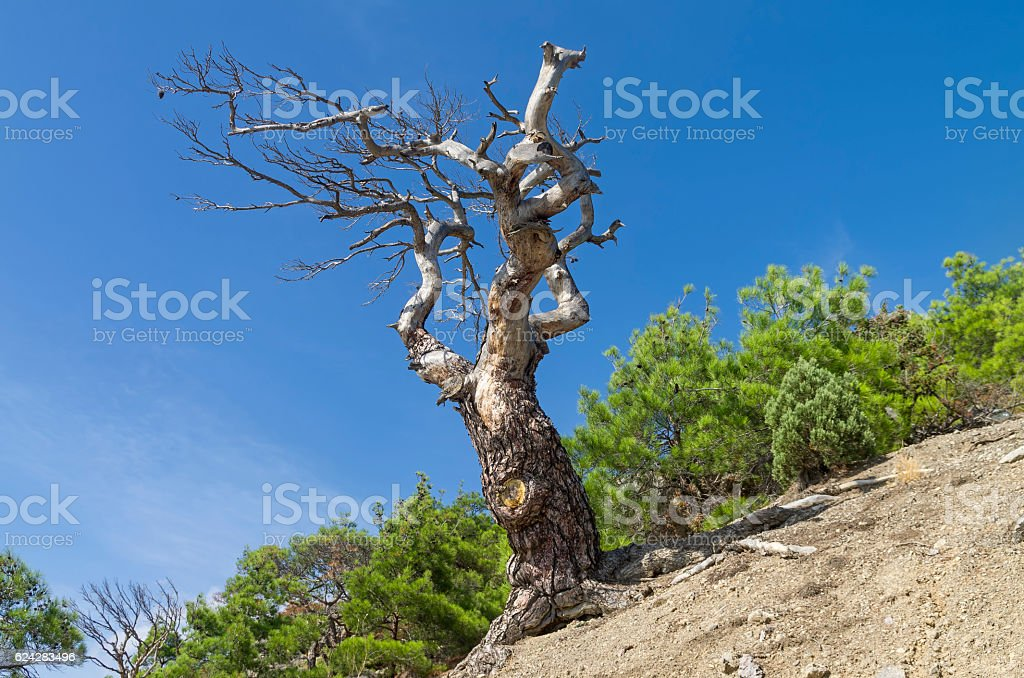 Dried relict pine against the blue sky. Crimea. stock photo
