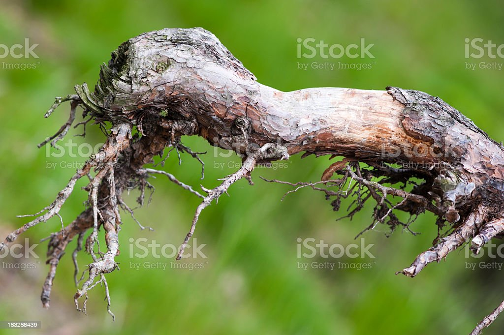 dried root stock photo