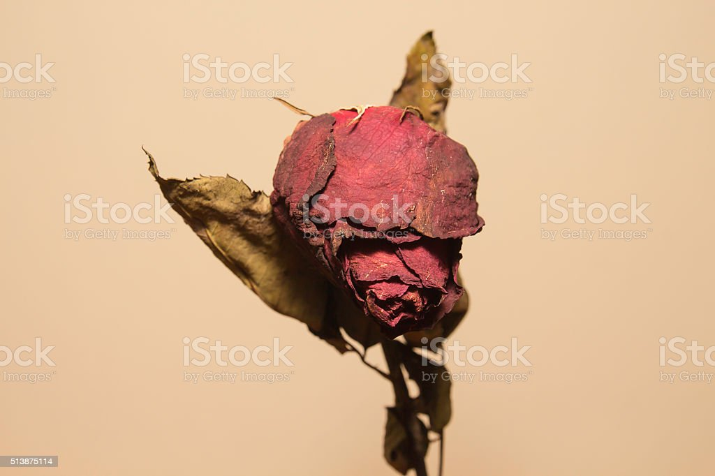 Dried rose flower stock photo