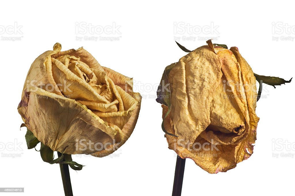 Dried rose on white background stock photo