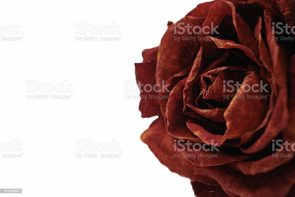 Secas Rosa sobre branco foto de stock royalty-free
