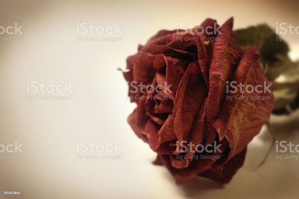 Rosa secas foto de stock royalty-free