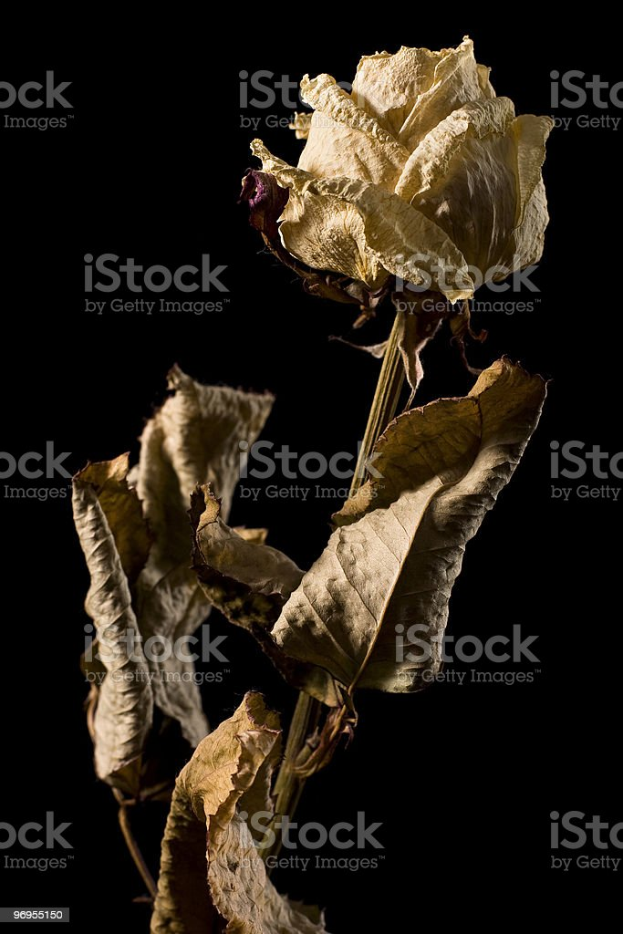 Dried rose royalty-free stock photo