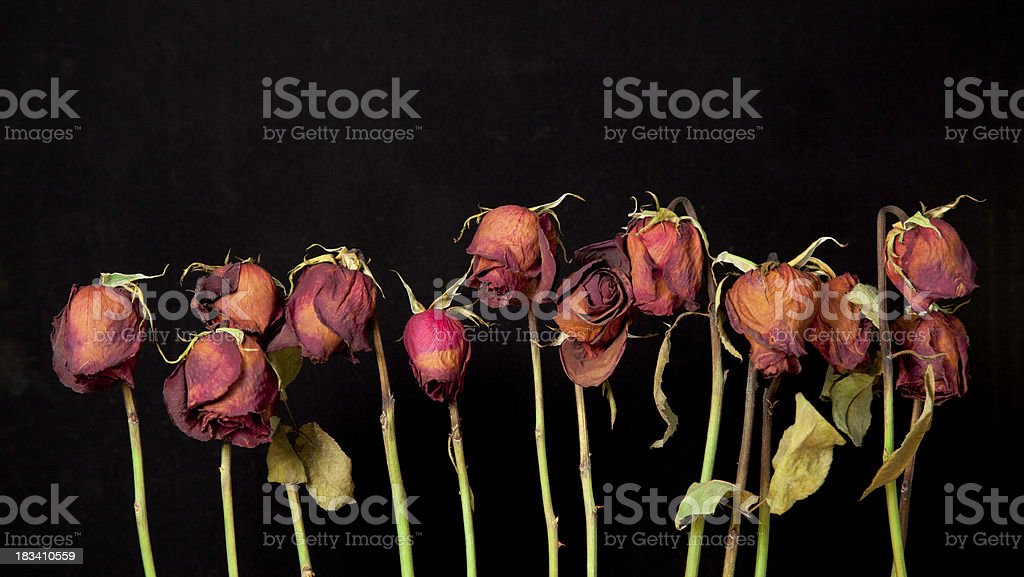 Dried Roses royalty-free stock photo