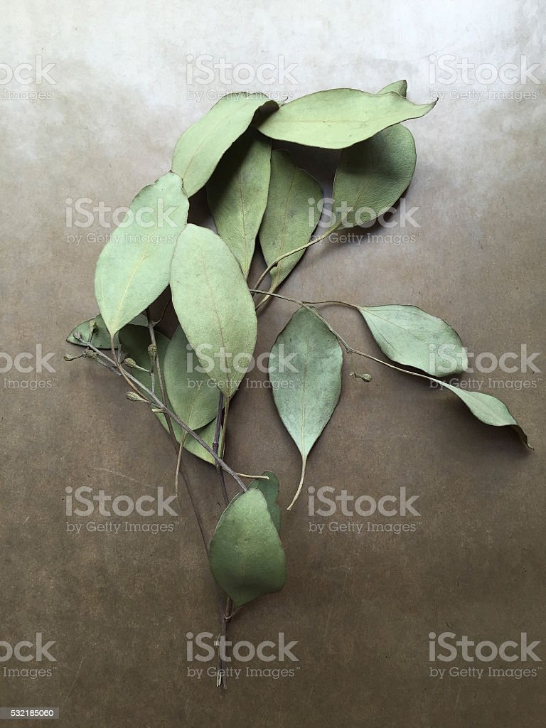 Dried Ruscus Leaves stock photo