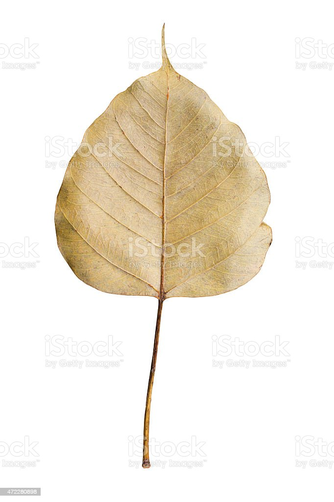 dried sacred fig leaf isolated on white stock photo