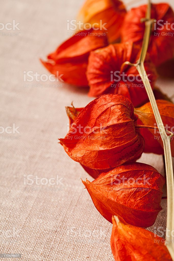 Dried seed pods from the Chinese Lantern Plant. stock photo