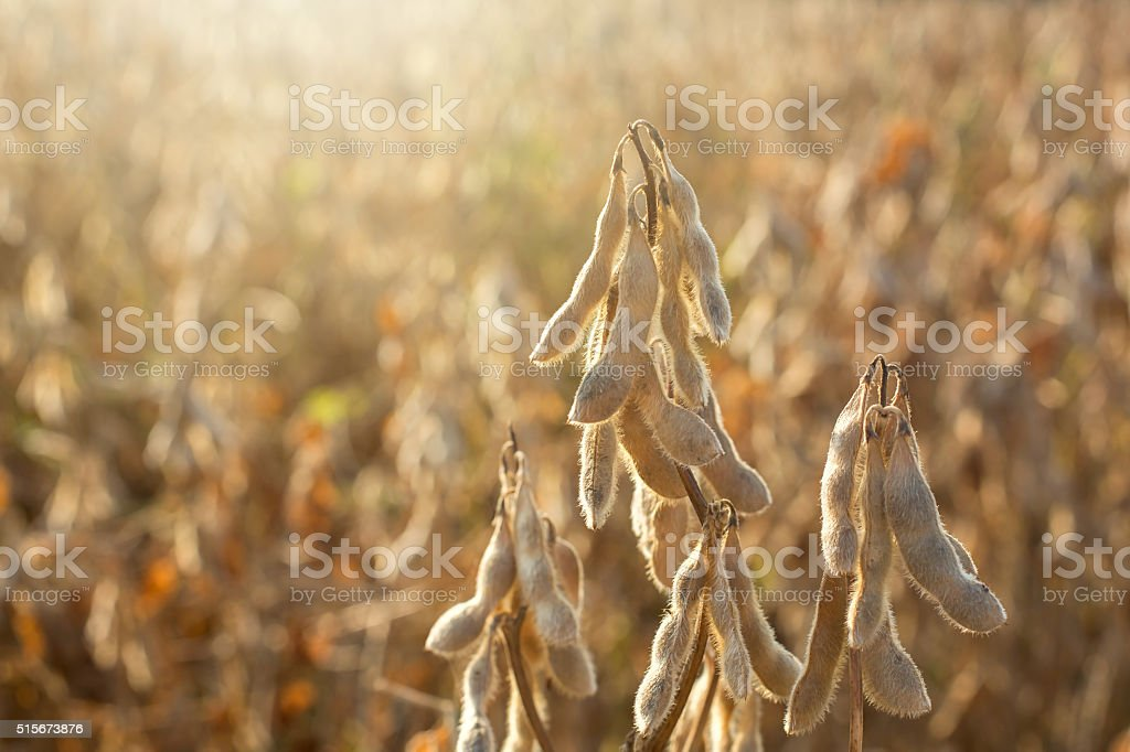 Dried Soybeans in Field stock photo