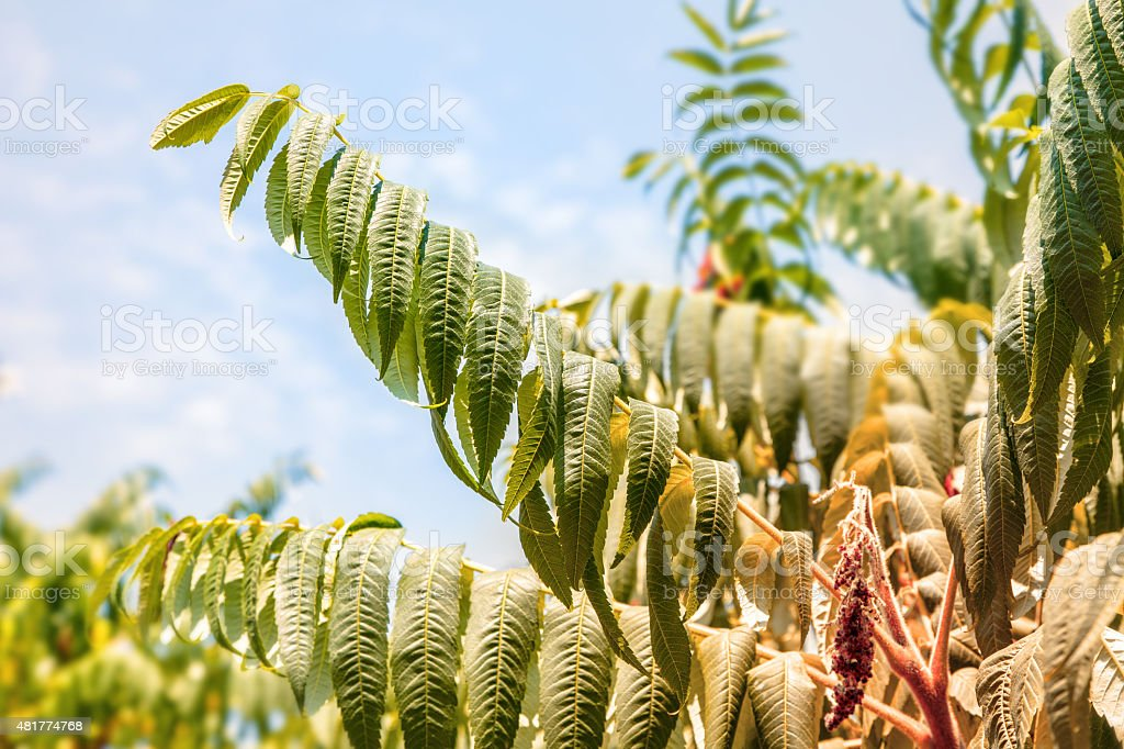 Dried Sumac tree leaf during hot summer drought stock photo