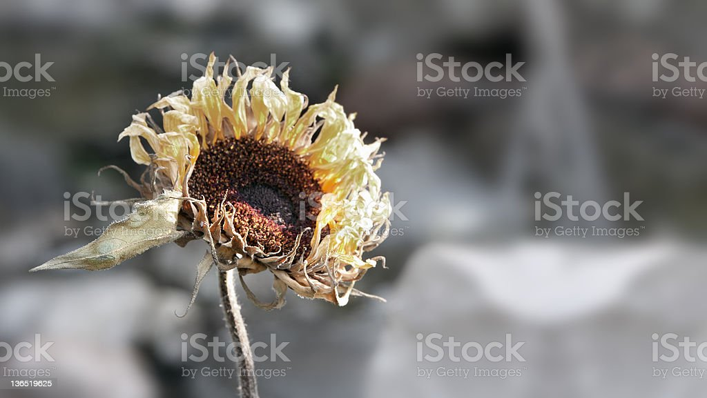 dried sun flower royalty-free stock photo