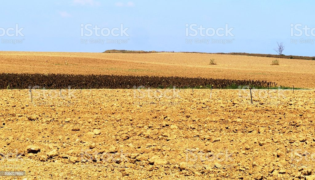 Dried Sunflower field stock photo