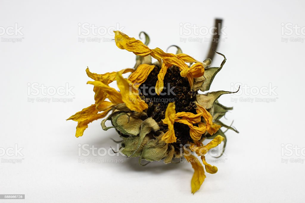 Dried Sunflower - Front Closup stock photo