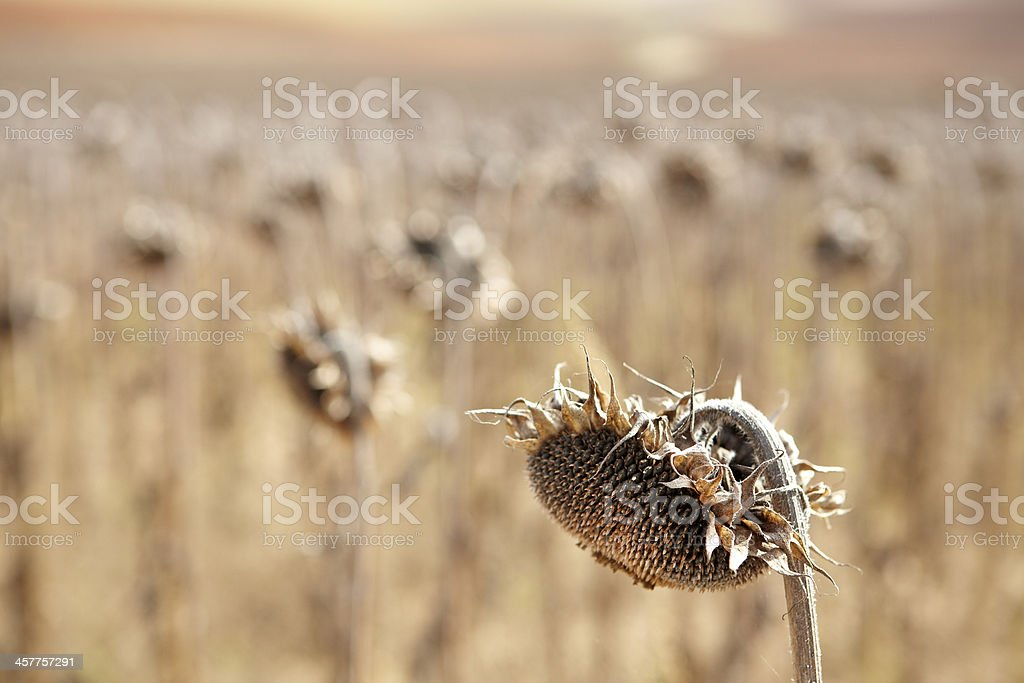 Dried sunflowers royalty-free stock photo