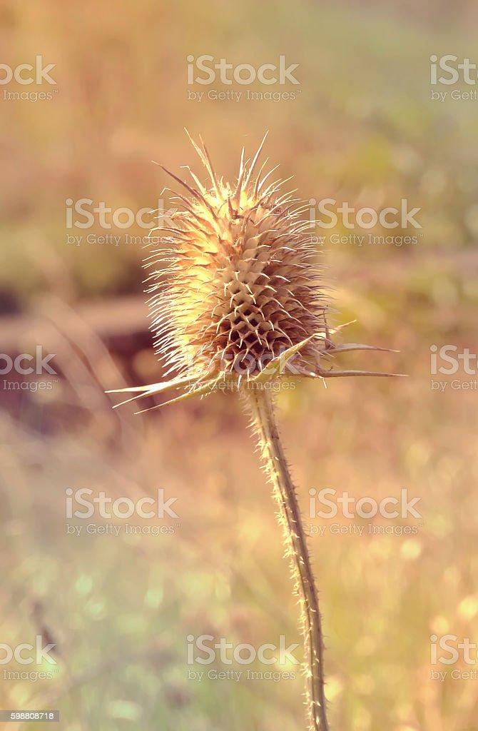 Dried teasel - Dipsacus fullonum stock photo