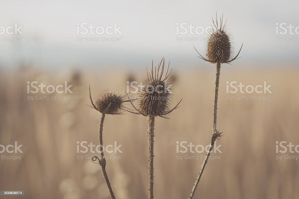 Dried Teasels stock photo