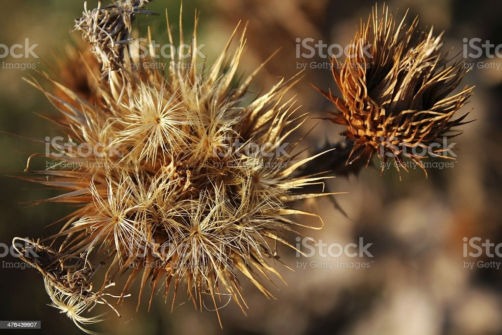 Dried thistle royalty-free stock photo