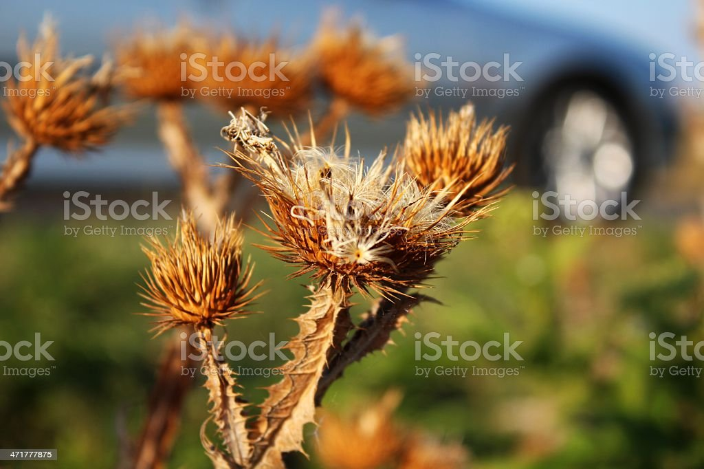 Dried thistle with car background royalty-free stock photo