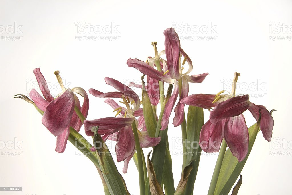 dried tulips royalty-free stock photo