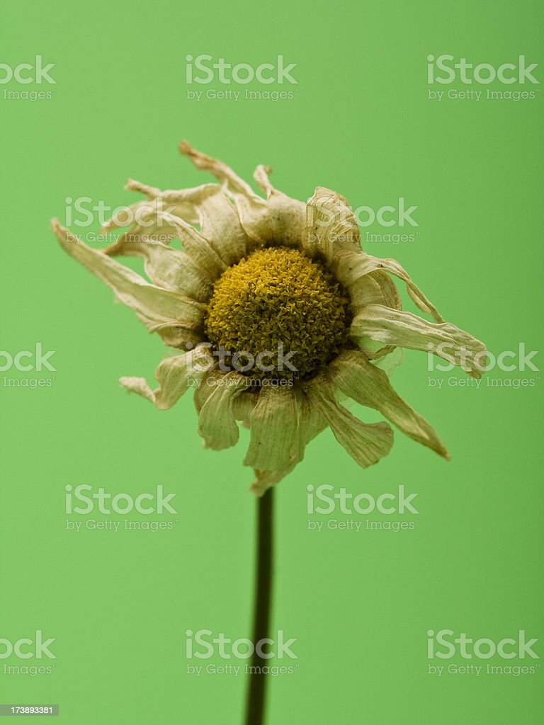 Dried up flower. royalty-free stock photo