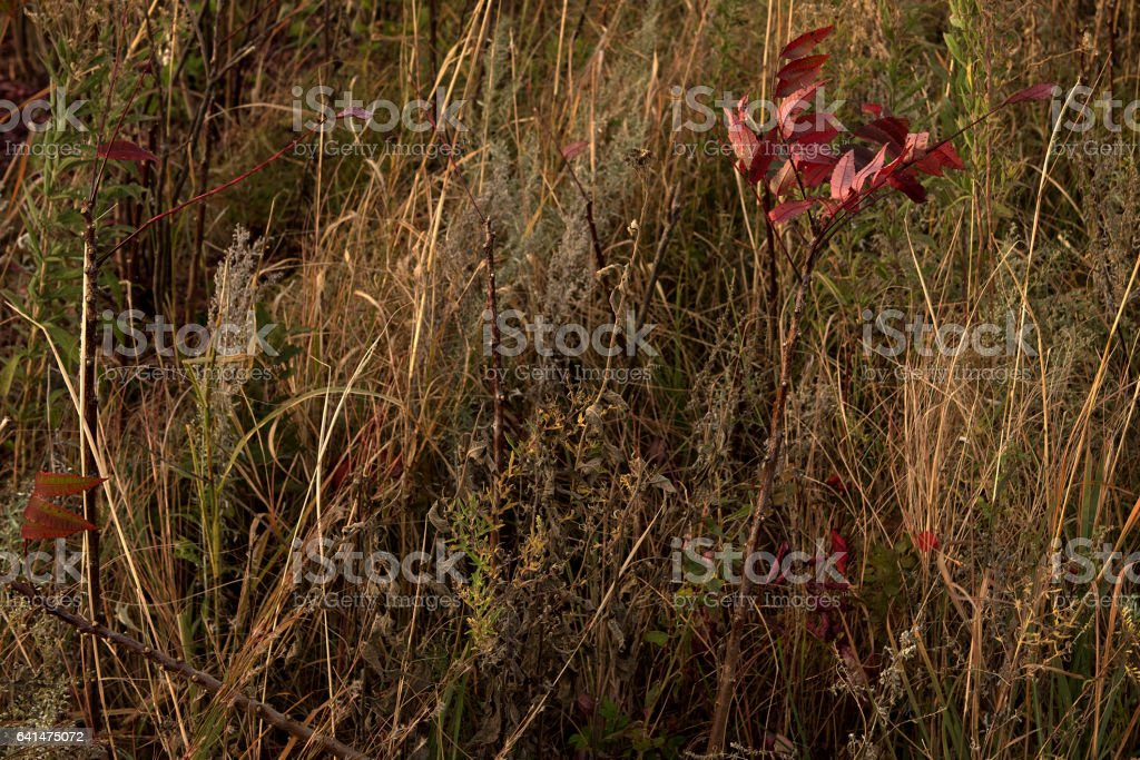 Dried Up Kansas Tall Grass stock photo