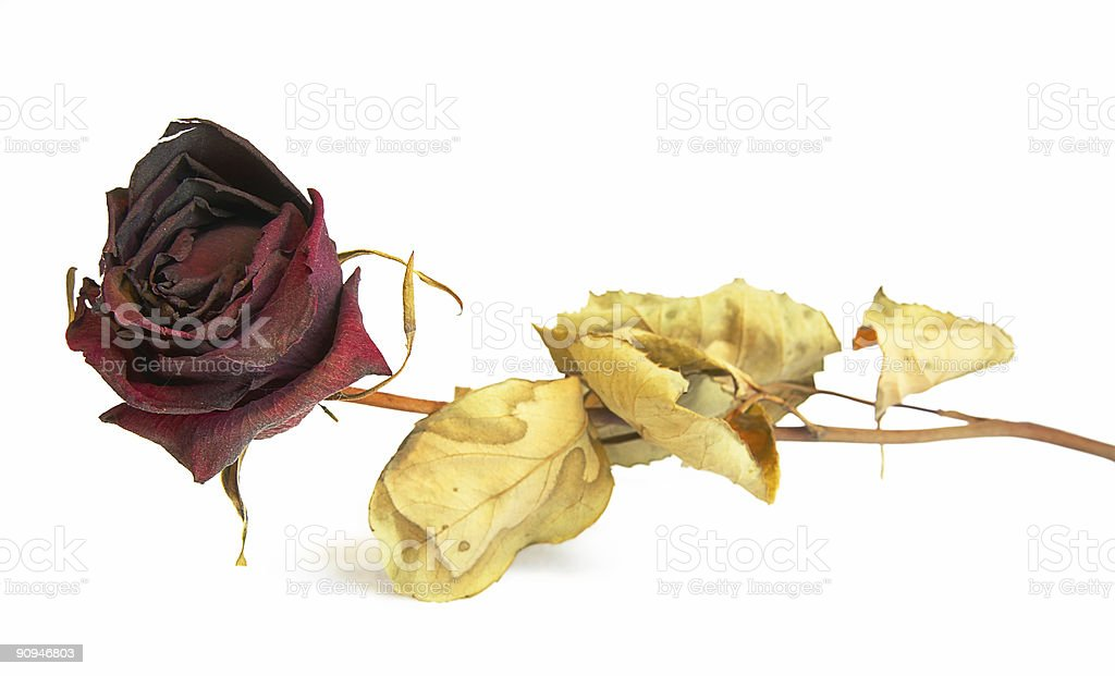 dried up rose (isolated, clipping path) royalty-free stock photo