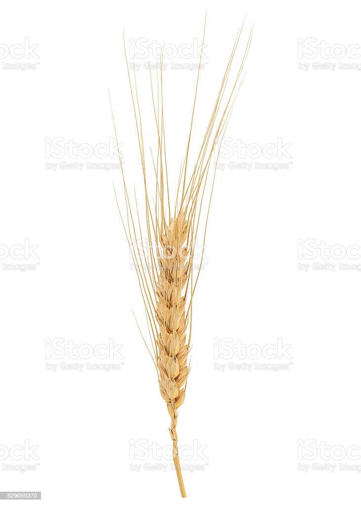Dried Wheat Ear stock photo