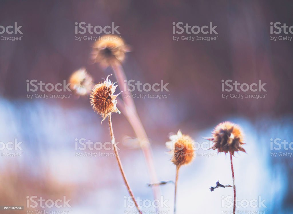 Dried wild flower seed heads in winter stock photo