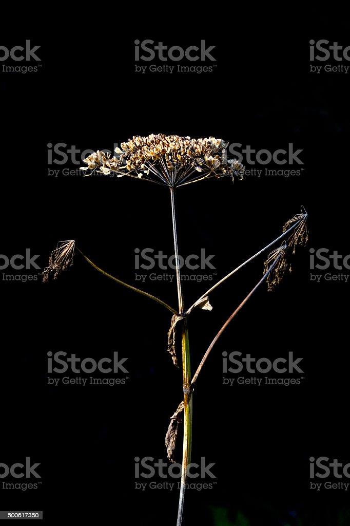 Dried wild parsnip flower in vertical image stock photo