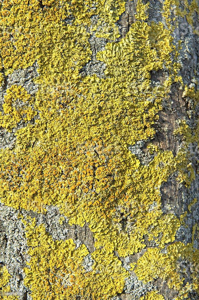 Dried Xanthoria parietina on a tree royalty-free stock photo