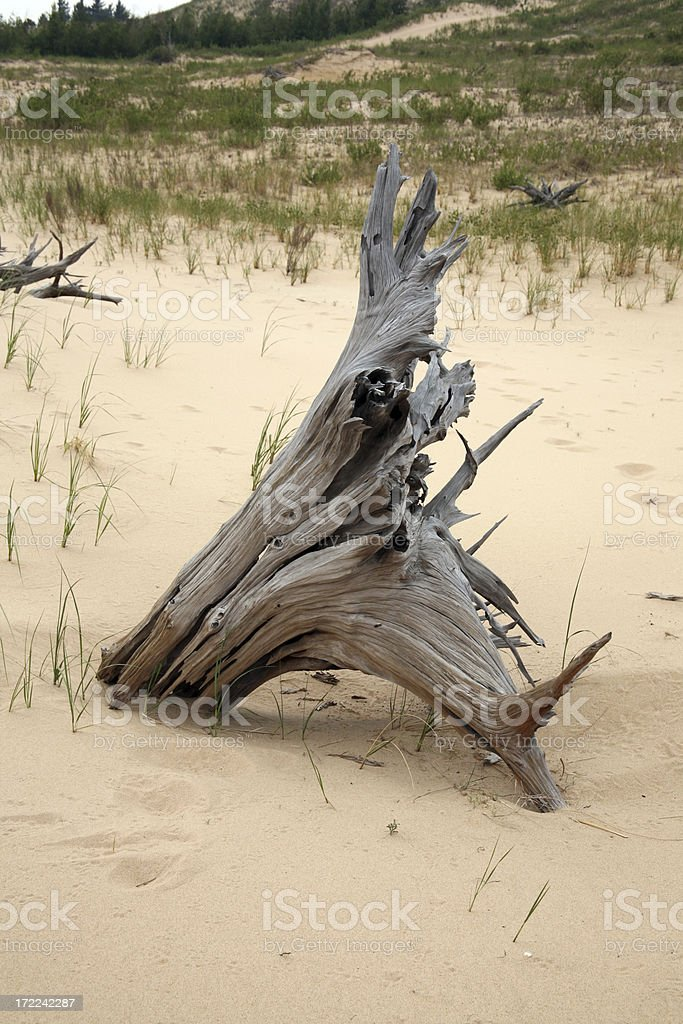 Drift wood in a sand dune, Michigan stock photo