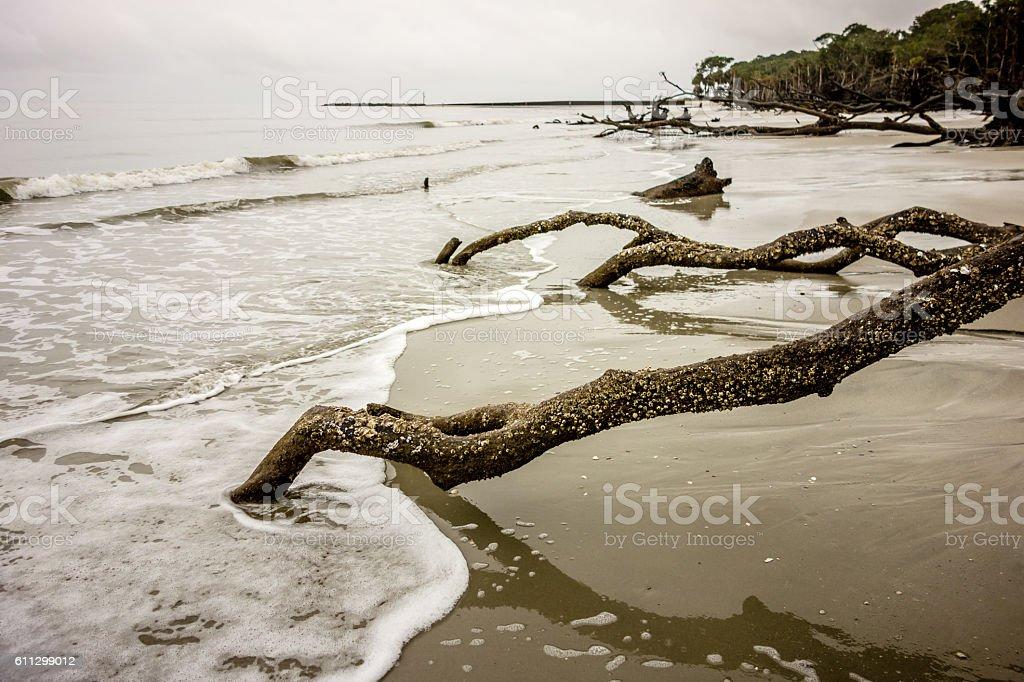 drift wood on hunting island south carolina stock photo
