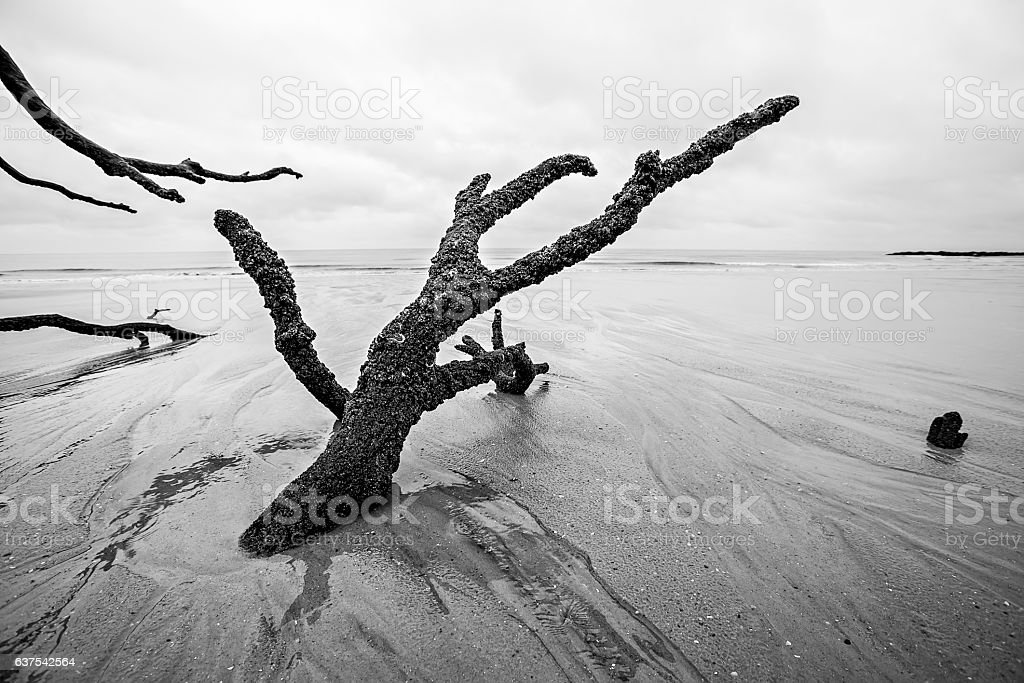 Driftwood and washed out trees at the beach on Hunting stock photo