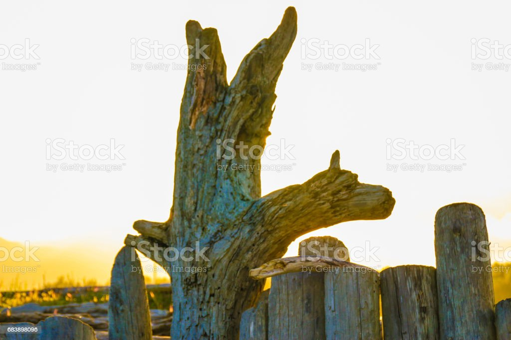 Driftwood at sunset stock photo