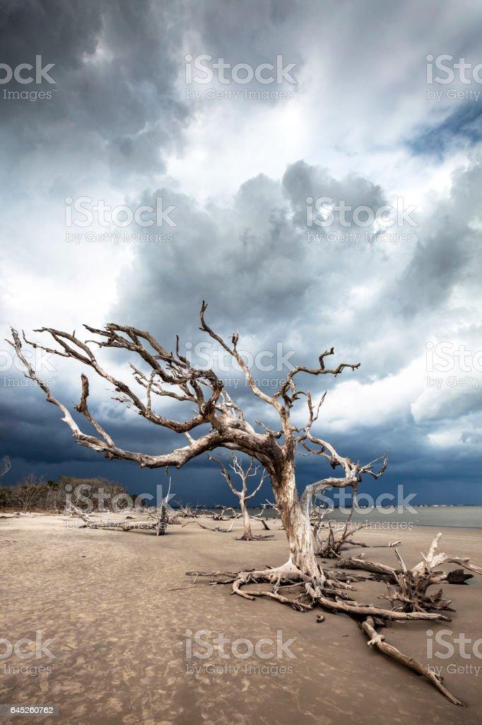 Driftwood beach, Jekyll Island, Georgia. stock photo