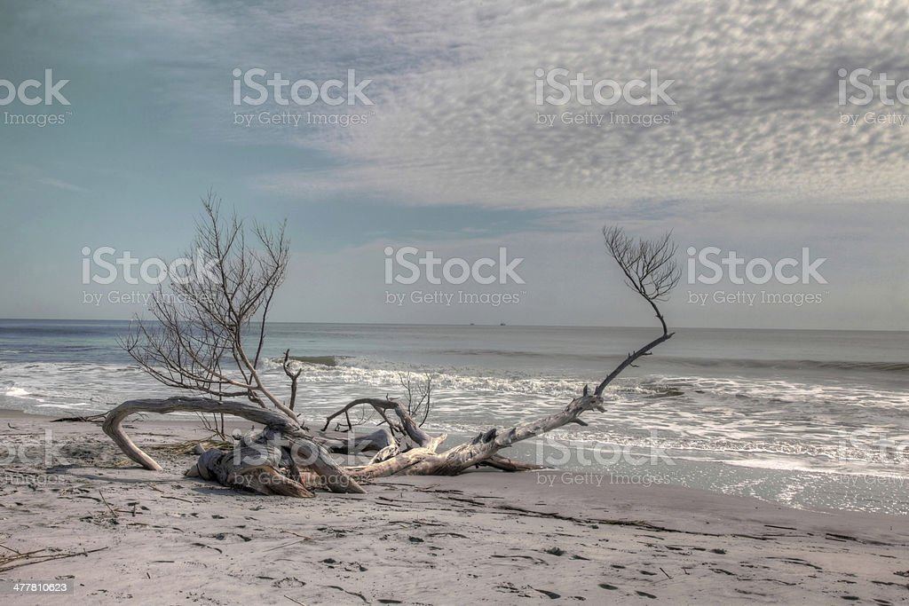 Driftwood on Hunting Island royalty-free stock photo
