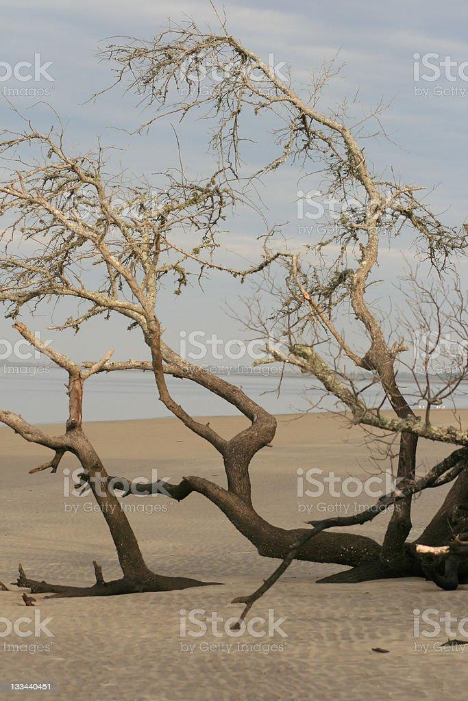 Driftwood tree royalty-free stock photo