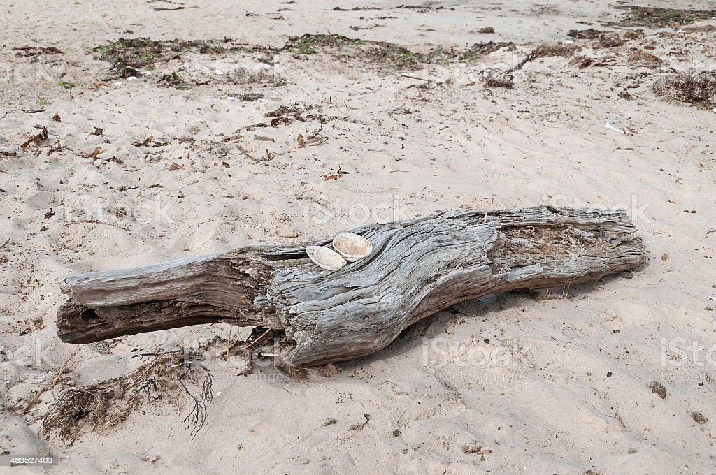 Driftwood with two shells on sandy beach royalty-free stock photo