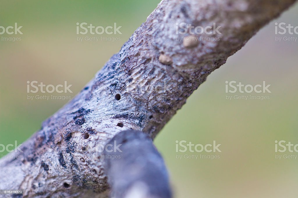 Drill marks in fig tree stock photo