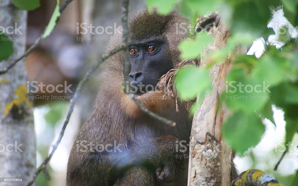 Drill monkey in a tree stock photo