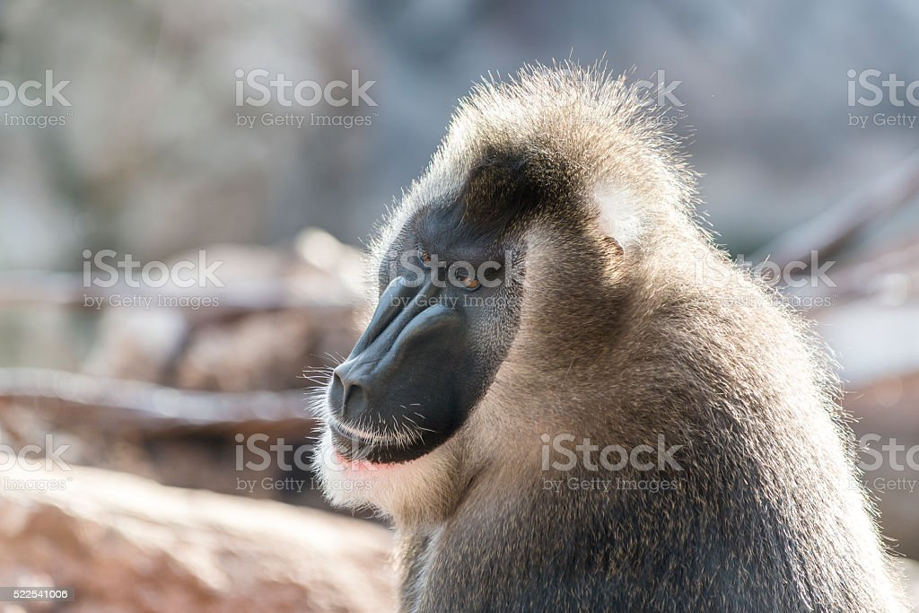 Drill monkey, male. Africa. stock photo