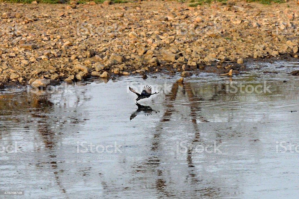 Drinking bird in flight stock photo