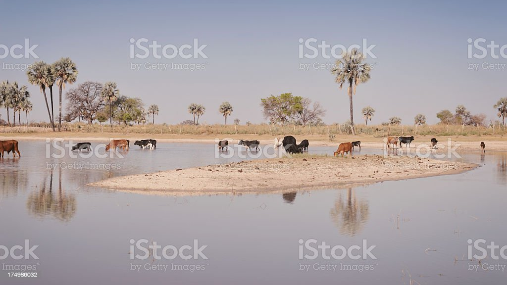 Drinking cattle, Namibia royalty-free stock photo