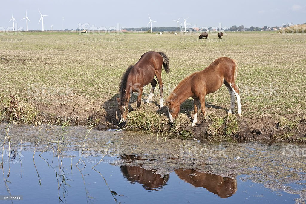 Drinking couple of horses in the dutch pastures royalty-free stock photo