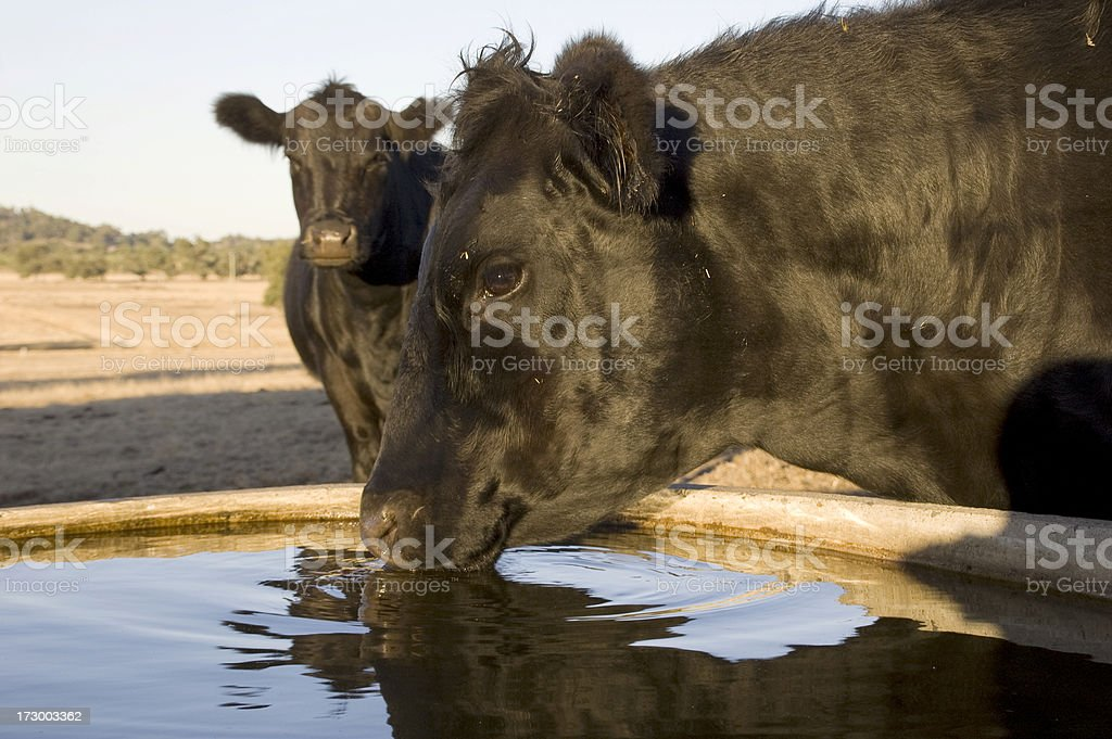 Drinking cow. royalty-free stock photo