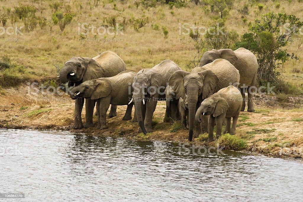 Drinking Elephants royalty-free stock photo