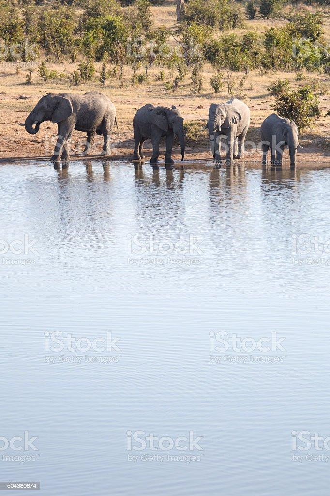 Drinking Elephants stock photo