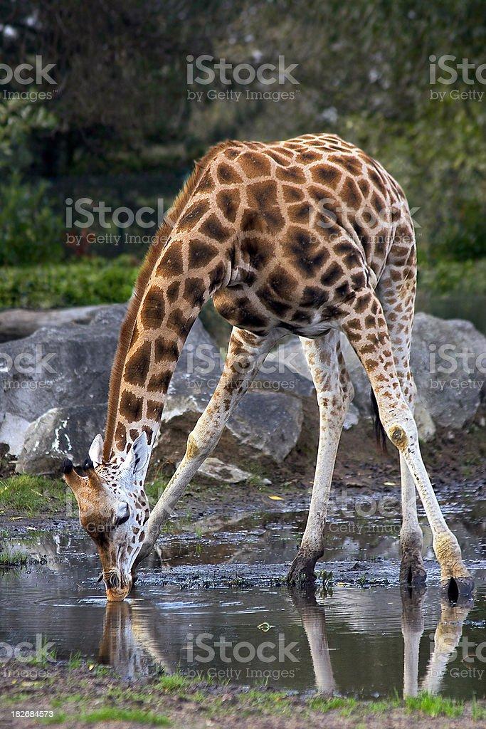 Drinking Giraffe stock photo